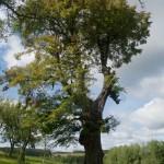 Boratycze. Jedna z trzech zachowanych lip na terenie dawnego ogrodu przydworskiego.