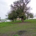 Dmytrowice. Pojedyncze drzewa na terenie danego sadu. W tle współczesna zabudowa prywatnej stadniny usytuowanej na dawnym folwarku.
