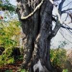Rustweczko. Orzech biały, jedyne drzewo jako ocalało na terenie niezachowanego założenia oraz opuszczonej i niezamieszkanej miejscowości.
