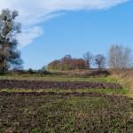 Tamanowice. Teren dawnego ogrodu użytkowany jako pole orne z zachowaną pomnikową lipą oraz fragmentem alei przy głównej drodze dojazdowej widocznej w oddali.