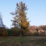 Chłopy (ukr. Переможне). Jeden z dwóch okazałych modrzewi (310-330 cm obwodu) rosnących przed elewacją pałacu Lanckorońskich.
