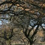 Laszki Zawiązane (ukr. Завязанцi). Jabłonie w sadzie podworskim.