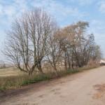 Michalewicze (Michalewice) (ukr. Михайлевичі). Pozostałości kasztanowej alei.