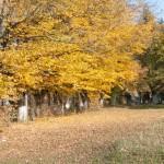 Pohorce (ukr. Погірці ). Szpaler grabowy osłaniający kwatery drzew owocowych.