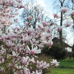 magnolie (3)