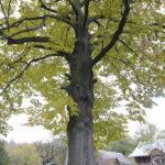 Kobło Stare (ukr. Кобло). Pomnikowa lipa, jedna z dwóch jakie pozostały z dawnego założenia ogrodowego.