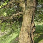 Łanowice (ukr. Лановичі). Jedna z pomnik lip rosnąca na koronie wału.