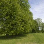 Sielec (ukr. Сeлець). Lipowy szpaler, jedyna pozostałość po założeniu dworsko-ogrodowym Alfreda Webera.