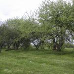 Słochynie (ukr. Слохині). Sad owocowy z pocz. w. XX.