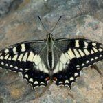 Papilio hospiton - Sardynia