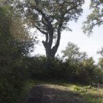 Szczepłoty (ukr. Щеплоти). Pojedyncze drzewa rosnące na koronie nowożytnych fortyfikacji ziemnych.