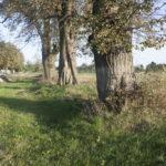 Wulka Rosnowska (ukr. Роснівка). Pozostałości dawnej alei prowadzącej do dworu.