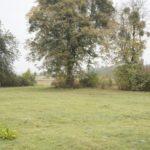 Hohołów (ukr. Гоголів). Samotna lipa na terenie dawnego ogrodu dworskiego.