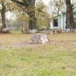 Kupiczwola (ukr. Купичволя ). Pnie rzędowych nasadzeń lipy oraz pnie po wyciętych drzewach, na terenie dawnego ogrodu.