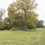 Uśmierz. Magnolia drzewiasta rosnąca na terenie dawnego ogrodu.